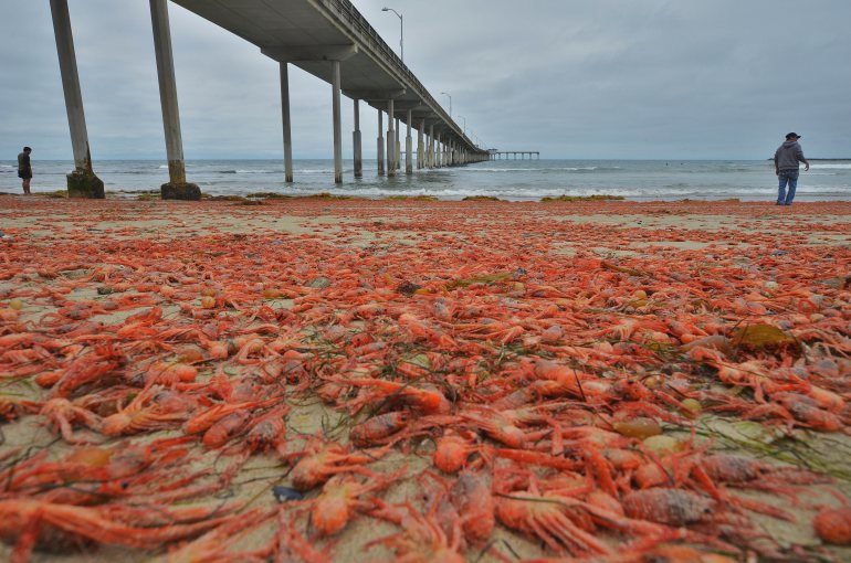 Small red tuna crabs, or pelagic red crabs, washed up along the southern California shoreline in June, 2015.